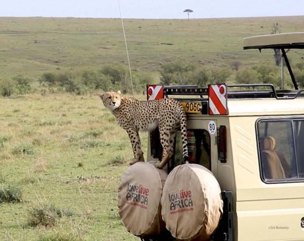 Cheetah op auto