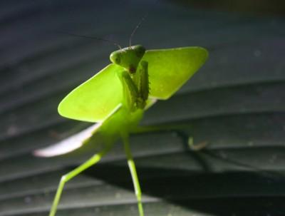 Costa Rica -  Bidsprinkhaan
