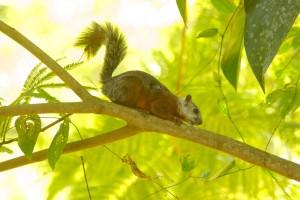 Costa Rica -  Eekhoorn-2