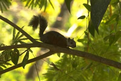 Costa Rica -  Eekhoorn