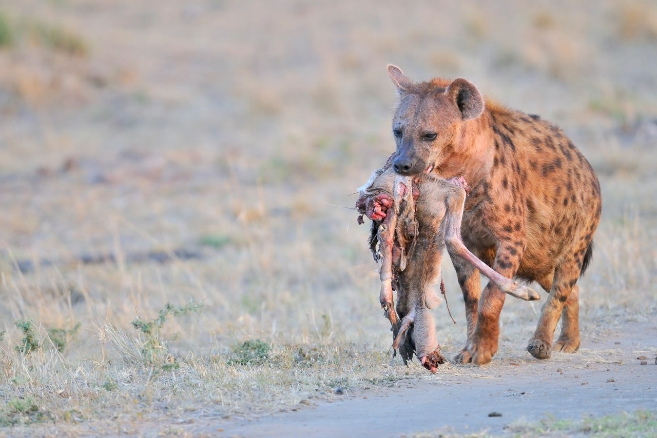 Hyena met prooi-2