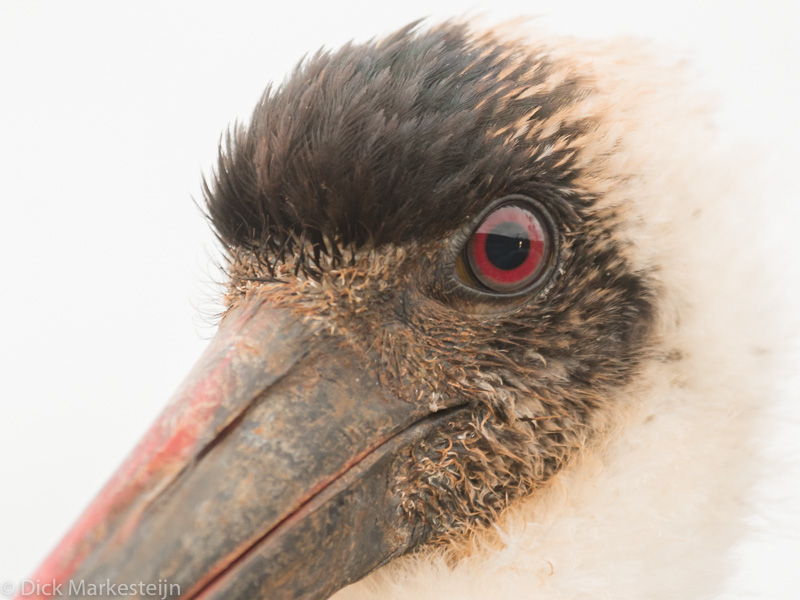 Wooly-necked Stork - Wolnekooievaar